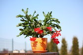 Schlumbergera cactus with red flowers — Stock Photo