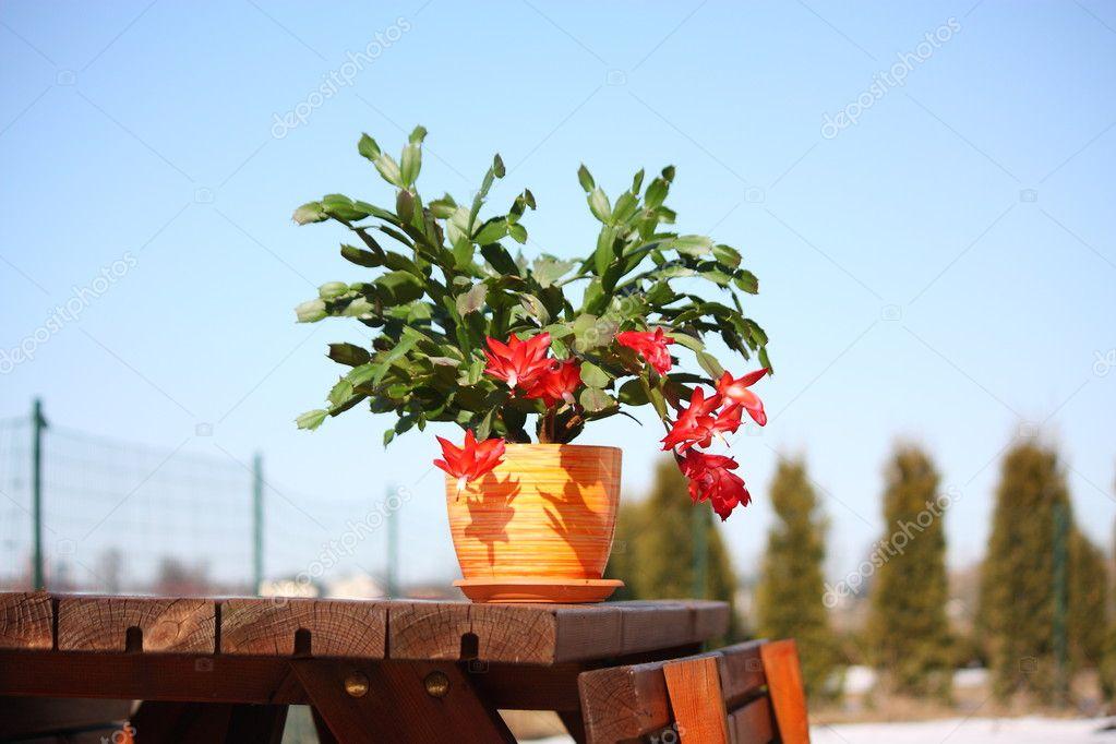 кактус шлюмбергера