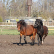 Stock Photo: Two horses playing tag
