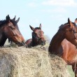 Horse herd eating hay — Stock Photo
