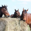 Stock Photo: Horse herd eating hay