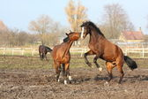 Two brown horses fighting — Stock Photo