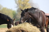 Black horse eating hay — Stock Photo