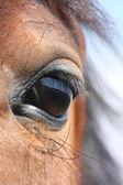 褐色的马眼 — 图库照片