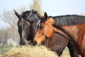 Two horses eating hay — Stock Photo