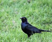 Common Grackle — Stock Photo