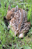 Newborn Fawn — Stock Photo