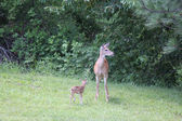 Whitetail Doe with her Fawn — Stock Photo