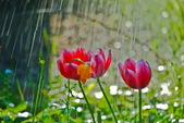 Tulips in the rain — Stock Photo