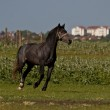Beautiful black horse on the field — Stock Photo