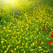 Stock Photo: Field with buttercups