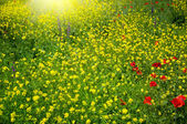 Field with buttercups — Stock Photo