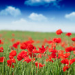 Field of Corn Poppy Flowers - Stock Photo