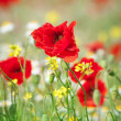 Stock Photo: Field of Corn Poppy Flowers