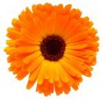 Calendula flower isolated on the white background — Stock Photo #10789298