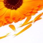 Calendula flower isolated on the white background — Stock Photo #10789458