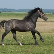 Beautiful black horse playing on the field — Stock Photo