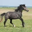 Beautiful black horse playing on the field — Stock Photo #10884291