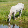 White horse on a mountain lake — Stock Photo