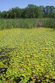 Los humedales y bosque verde — Foto de Stock