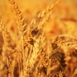 Golden Wheat field — Stock Photo #11403197