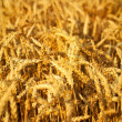 Golden Wheat field — Stock Photo #11403212