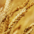 Golden Wheat field — Stock Photo