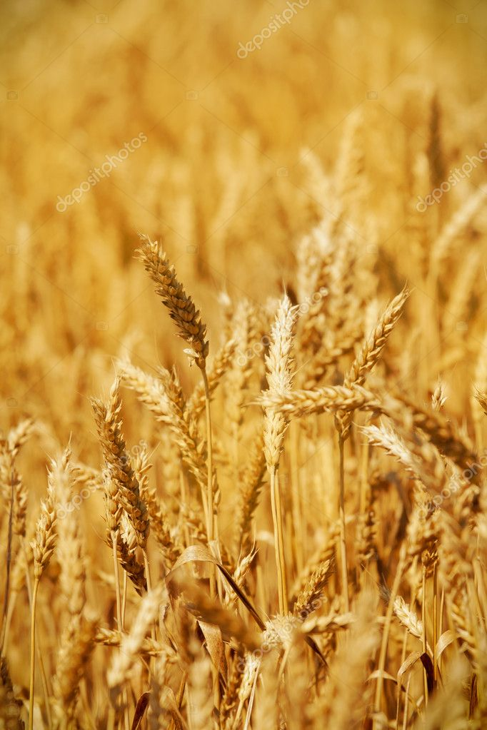 Golden Wheat field — Stock Photo #11407903