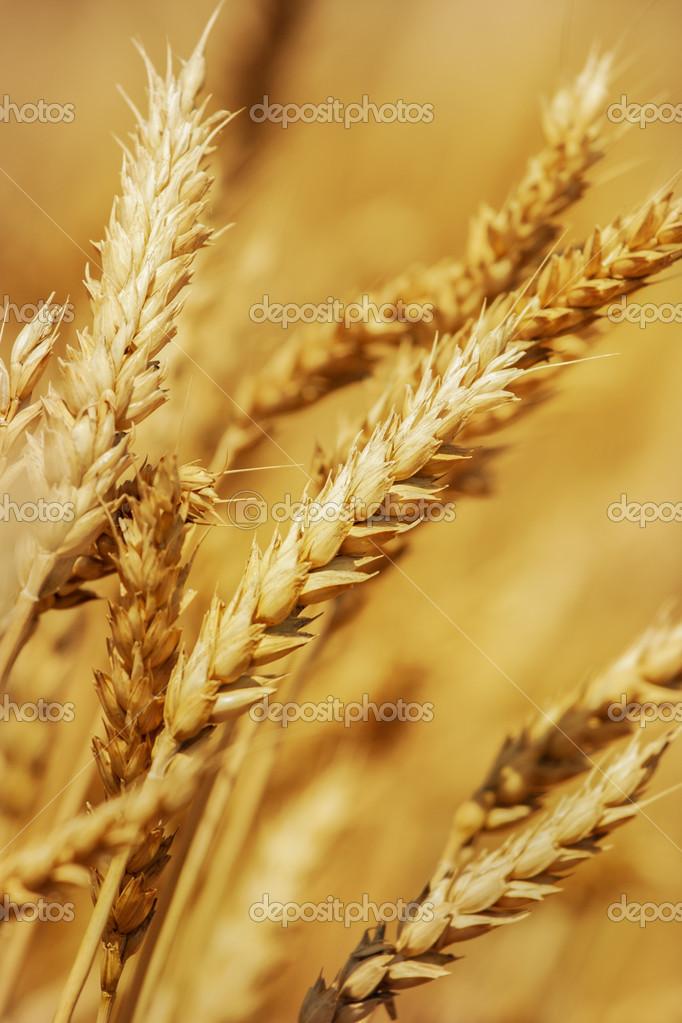 Golden Wheat field  Stock Photo #11407909