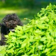 Toy poodle puppy peeking.. - Foto de Stock  