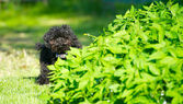 Toy poodle puppy peeking.. — Stock Photo