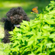 Stock Photo: Toy poodle puppyhappy with a butterfly.