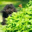 Toy poodle puppyhappy with a butterfly. — Stock Photo