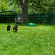 Постер, плакат: Poodle pups happily chasing a ball