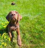 Lab puppy watching a bee passing, wide angle. — Stock Photo