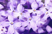 Foto of Macro purity blooming Lilac — Stock Photo