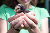 Baby chicken — Stock Photo