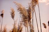 River cane — Stock Photo