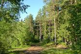 Russian nature - pine forest in summer — Stock Photo