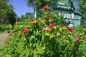 Beautiful briar flower bush — Stock Photo