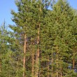 Young pine forest — Stock Photo