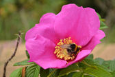 Beautiful briar flower and bumblebee — Stock Photo