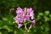 Fireweed (Epilobium angustifolium) — Stock Photo
