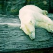 Polar bear — Foto de stock #11373653