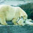 Two polar bears — Foto de Stock