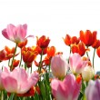 Tulips on a white background — Stock Photo