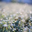 Small flowers in the grass — Stock Photo