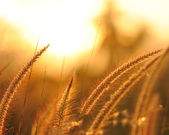 Grass at sunset — Stock Photo