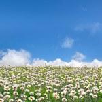 campo de margaridas — Foto Stock