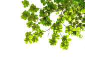 Beautiful green leafs — Stock Photo